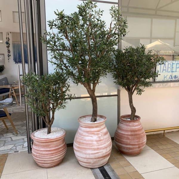 ornamental-olive-trees-001