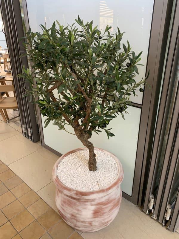 ornamental-olive-trees-002