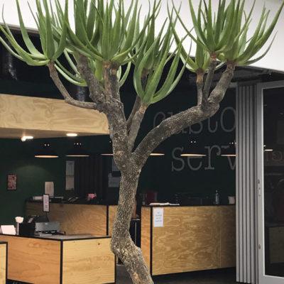 distinctive-silks-large-trees-aloe-tree-001